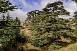 lebanese-consulate-calgary-lebanon-cedar-tree